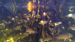 A school of fish swim around tree roots in a mangrove forest Stock Footage