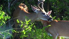 A buck grooms his companion Stock Footage
