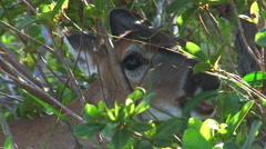 A doe eats leaves in a forest - stock footage