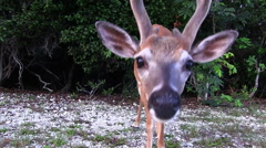 A young buck investigates the camera Stock Footage