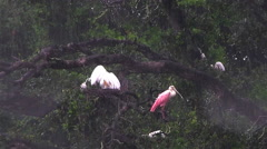 A roseate spoonbill and other birds take refuge from the rain Stock Footage