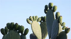 fruit fig of a cactus species, Opuntia cactus indica - stock footage