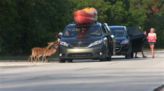 Tourists hand feed deer from a minivan Stock Footage
