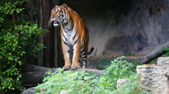 Tiger in the zoo Stock Footage