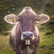 Closeup of a Swiss Dairy Cow Stock Photos