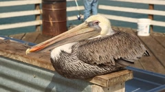 Pelican on the pier Stock Footage