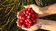 Move of handful of ripe hawthorn berries out of the frame and back Stock Footage
