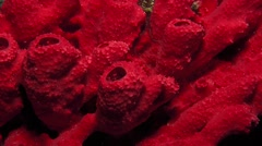Red tube sponges on a reef Stock Footage