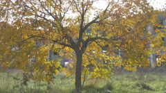 Tree with yellow leaves close up, pan left, ruined old building in background. Stock Footage
