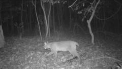 Bobcat Stock Footage