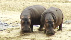 Stock Video Footage of Hippos on riverbank Kruger