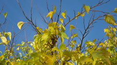 Autumnal tree branches & yellow foliages on blue sky background 1 Stock Footage