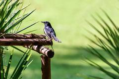 Oriental magpie-robin or Copsychus saularis, small passerine bir Stock Photos
