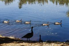 Canadian Geese Swimming In Pond And On Shore - stock photo
