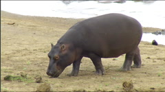 Hippo running on riverbank Kruger Stock Footage