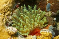 Sea life giant anemone Condylactis gigantea Panama - stock photo