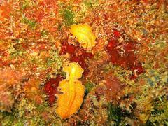 Underwater marine life flatworm Yungia aurantiaca Stock Photos