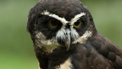 Spectacled Owl, Owl, Bird Stock Footage