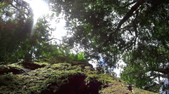 Looking Up At Rainforest Canopy Stock Footage