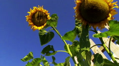 Sunflower with blue background pan. Stock Footage