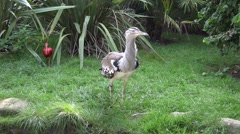 4k Kori bustard very close up walking grass ground Stock Footage