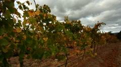 Craning Autumn Vineyard Stock Footage