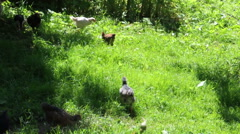 A hen roams free on a small country farm - stock footage