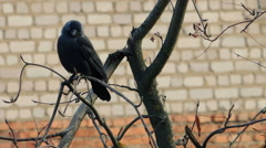 Stock Video Footage of crows settled on a tree branch
