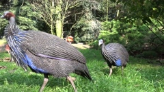 4k Guineafowls close up at a sunny day Stock Footage