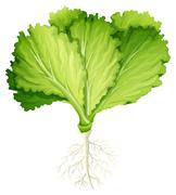 Fresh lettuce with root Stock Illustration