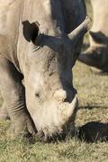 White rhinoceros or squarelipped rhinoceros Ceratotherium simum feeding Stock Photos