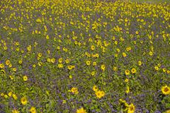 Field of sunflowers Helianthus and lacy phacelia Phacelia tanacetifolia Palling Stock Photos