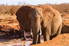 African Elephant Loxodonta africana male in the mud Tsavo East National Park Stock Photos