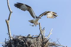 Osprey Pandion haliaetus carolinensis with outstretched wings and prey at nest Stock Photos
