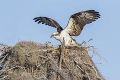 Osprey Pandion haliaetus carolinensis at nest with fledgling Florida USA North Stock Photos
