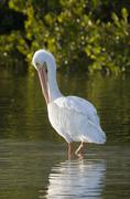 American white pelican Pelecanus erythrorhynchos preening feathers Ding Darling Stock Photos
