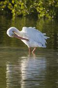 American white pelican Pelecanus erythrorhynchos preening feathers Ding Darling - stock photo
