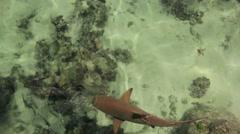 Blacktip sharks Stock Footage