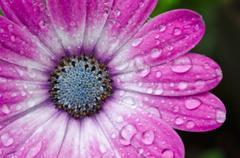 Pink/Purple Osteospermum African Daisy - stock photo