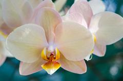 Stock Photo of Close-up Phalaenopsis Orchid
