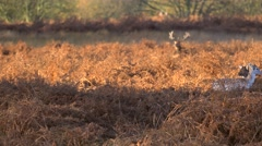 Stock Video Footage of Fallow Deer hinds in harem during rut in autumn