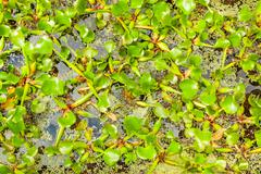 Stock Photo of green water fern in pond, close up