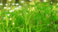 A lot of small white wildflowers in the green grass Stock Footage