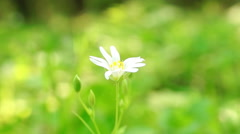 Lonely Daisy, the green grass Stock Footage