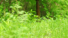 Stock Video Footage of Summer. Deciduous forest. The sun plays with the leaves of birch
