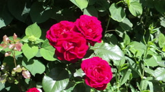 Red shrub roses in the garden on a green grass Stock Footage