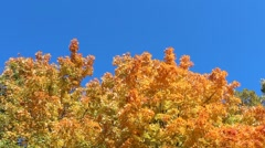 orange maple trees over blue sky, autumn season - stock footage