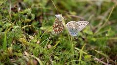 Female & Male Chalk-hill Blue Butterflies Stock Footage