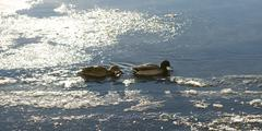 Mallards in Icy River - stock photo