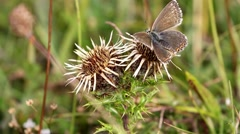 Female Chalk-hill Blue Butterfly on Carline Thistle Stock Footage